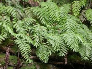 La rara felce preistorica Woodwardia radicans.